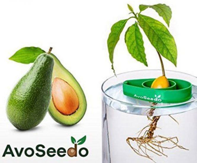 AvoSeedo – Grow Your Own Avocado Tree